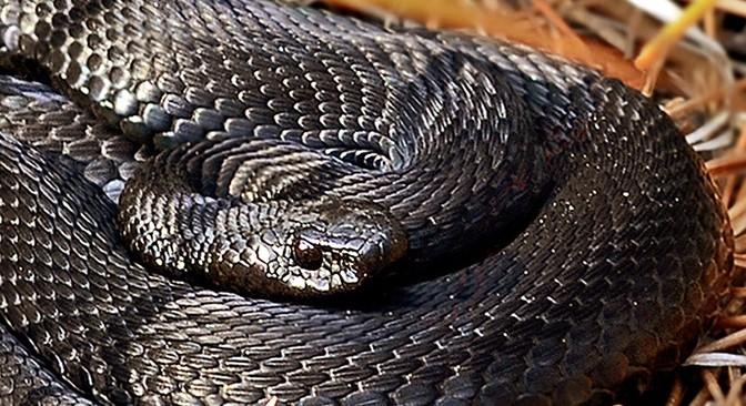 Укус змеи. Или что делать, если ребенка укусила змея?
